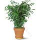 Pianta di Ficus Bush