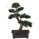Bonsai: particolarissima pianta in miniatura