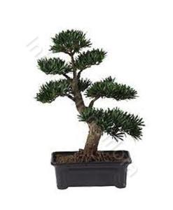 bonsai-247x300