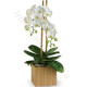 orchidea-bianca-510x600