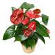 pianta-di-anthurium1-510x600
