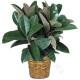 pianta-di-ficus1-247x300