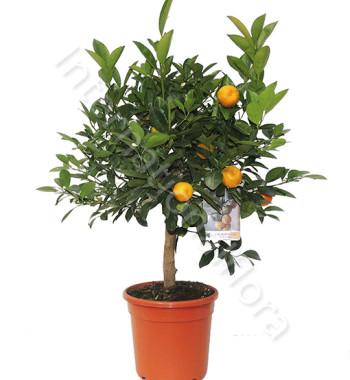 pianta-di-arancio