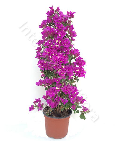 pianta di bouganville
