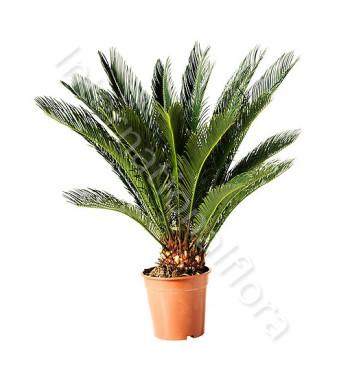 pianta-di-cycas