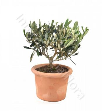 pianta-di-olivo