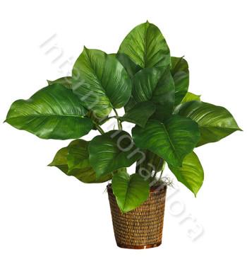 pianta-di-philodendron