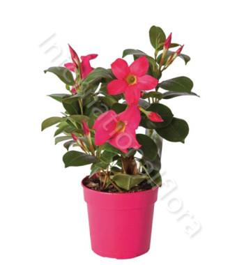 pianta-di-pladenia