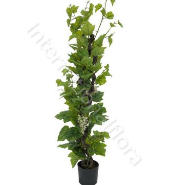 pianta-di-uva